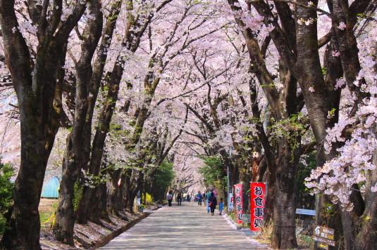 真原の桜並木 桜並木の中
