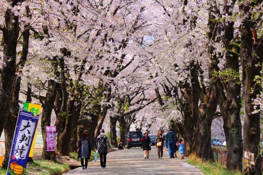 真原の桜並木 桜並木の中2