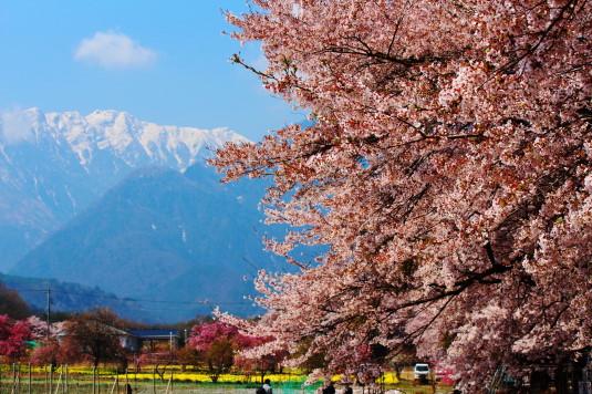 真原の桜並木 南アルプス