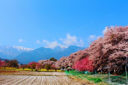 真原の桜並木 外観