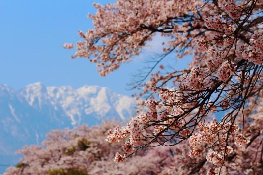 真原の桜並木 南アルプスと桜 アップ