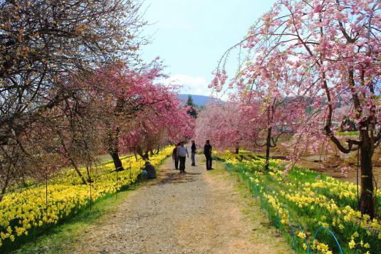真原の桜並木 しだれ桜