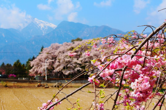 真原の桜並木 しだれ桜と甲斐駒ケ岳
