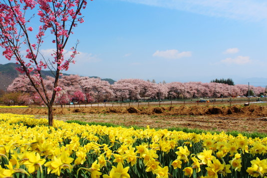真原の桜並木 全体