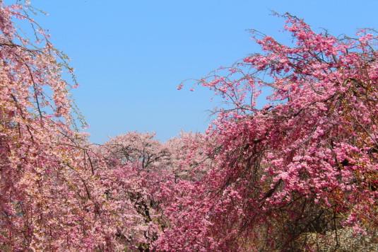 真原の桜並木 しだれ桜とピンク