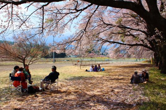 真原の桜並木 お花見