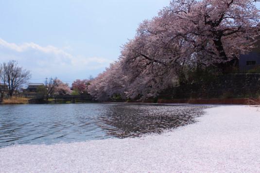 桜 長坂湖 親水広場