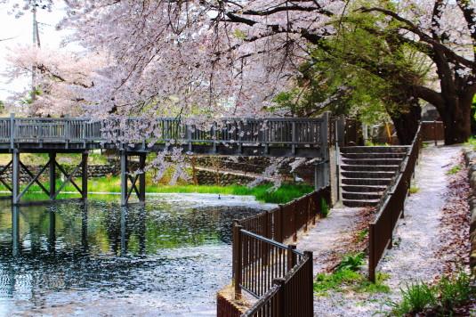 桜 長坂湖 橋