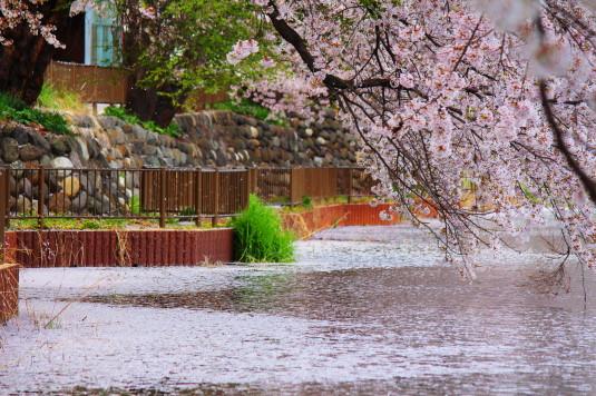 桜 長坂湖 水面視線