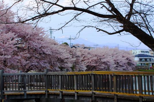 桜 長坂湖 橋と桜