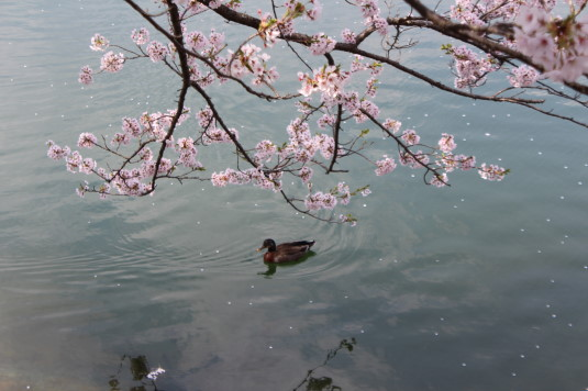 桜 長坂湖 かも