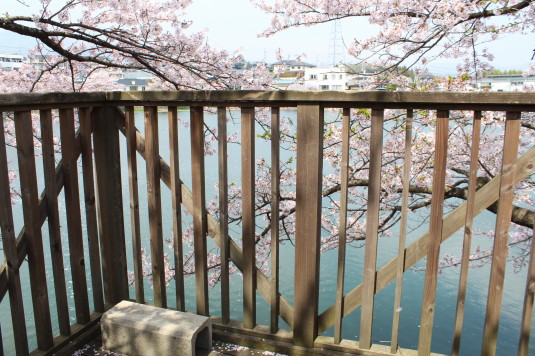 桜 長坂湖 眺め