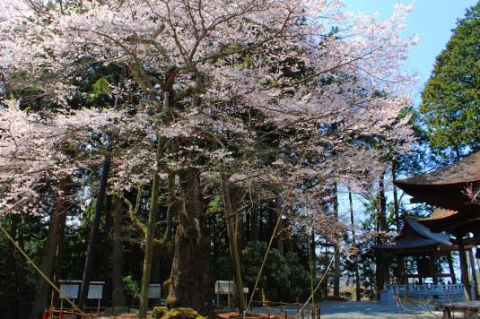 桜 雲峰寺 別角度