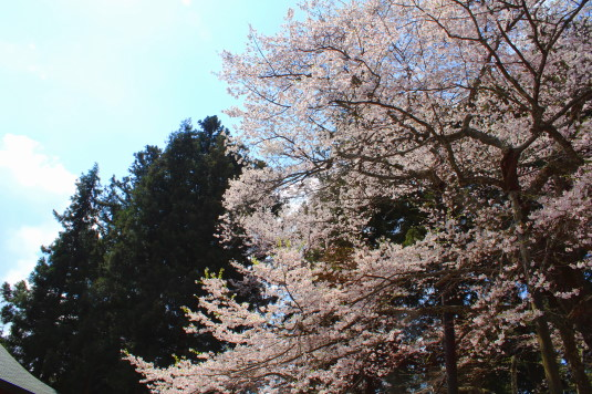 桜 雲峰寺 上方向