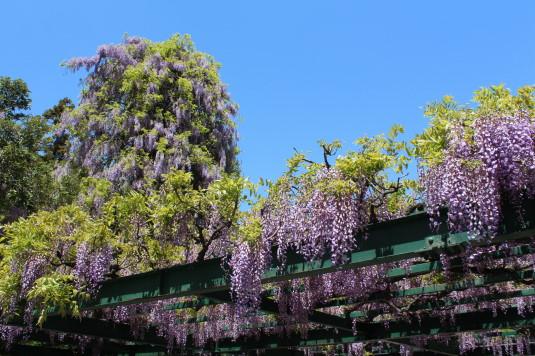 藤の花 岡神社 近く