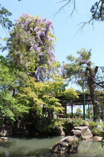 藤の花 岡神社 池と藤