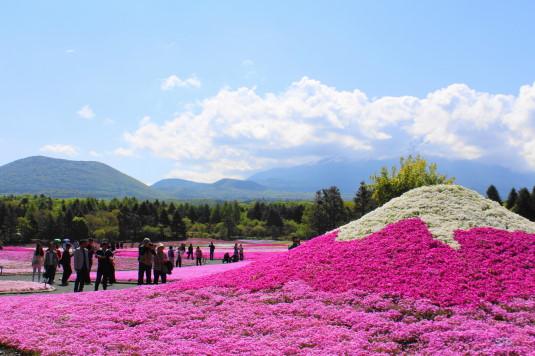 富士芝桜まつり 富士山芝桜