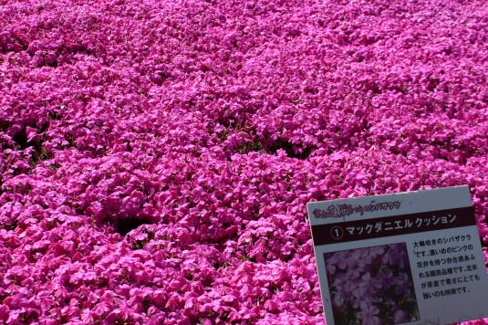 富士芝桜まつり 品種名