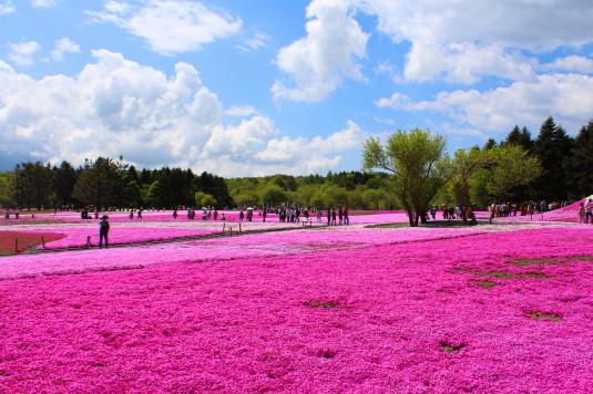 富士芝桜まつり 一面の芝桜