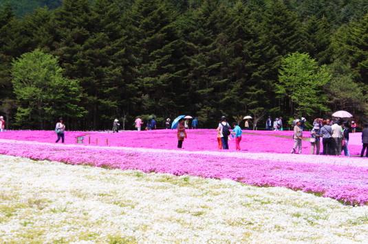 富士芝桜まつり 一面の芝桜 白