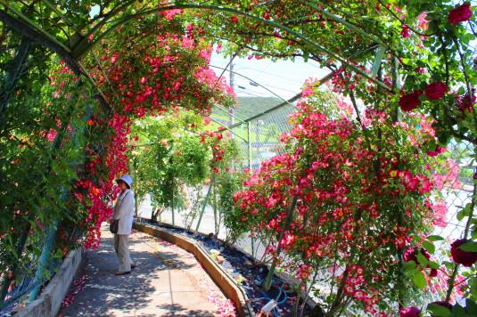 東光寺のバラ 回廊 中