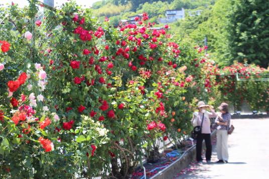 東光寺のバラ フェンス