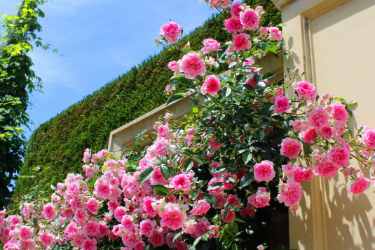 キングスウェル 壁のバラ