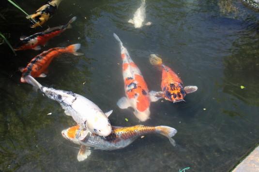 キングスウェル 錦鯉