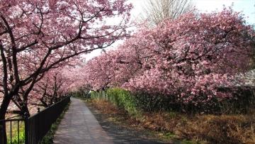 140228河津桜 (25)_R