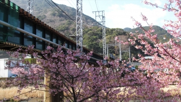 140228河津桜 (39)_R