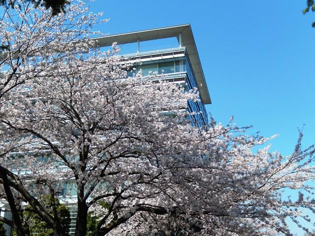 県庁と桜20140407012