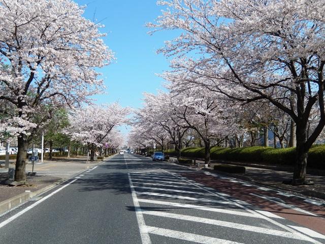 県庁と桜20140407003