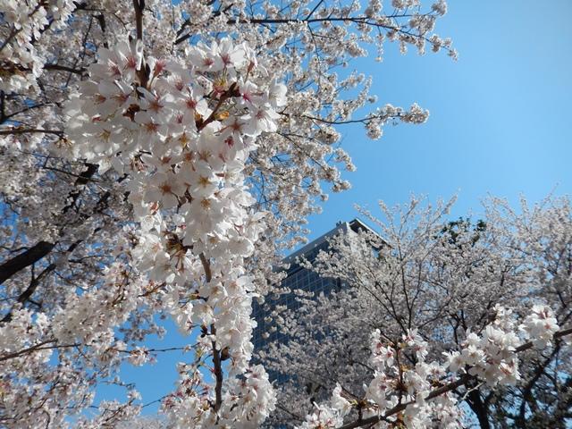 県庁と桜20140407006