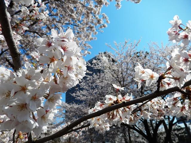 県庁と桜20140407007