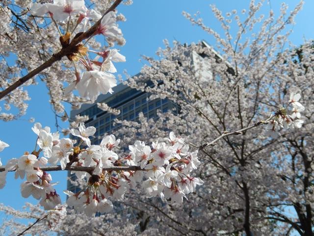 県庁と桜20140407009