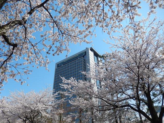 県庁と桜20140407005