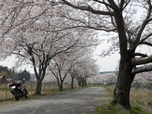 桜+バイク