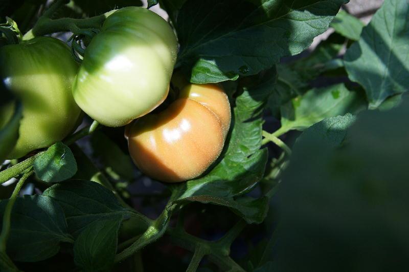 tomato25.jpg