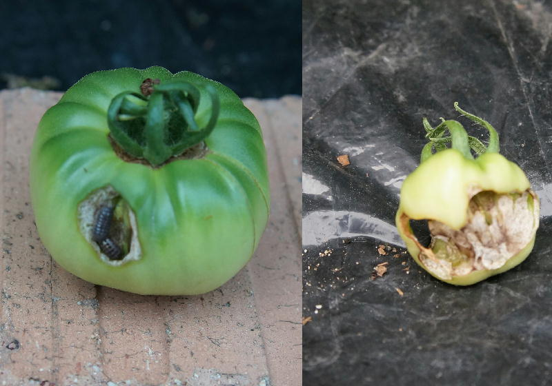 tomato80.jpg