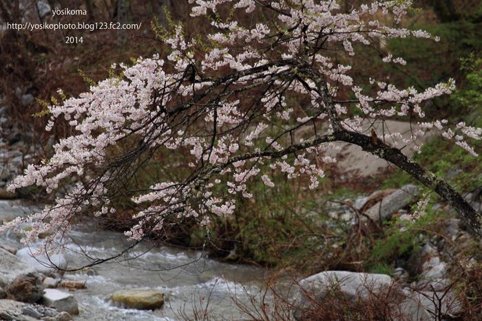 浪合の桜1