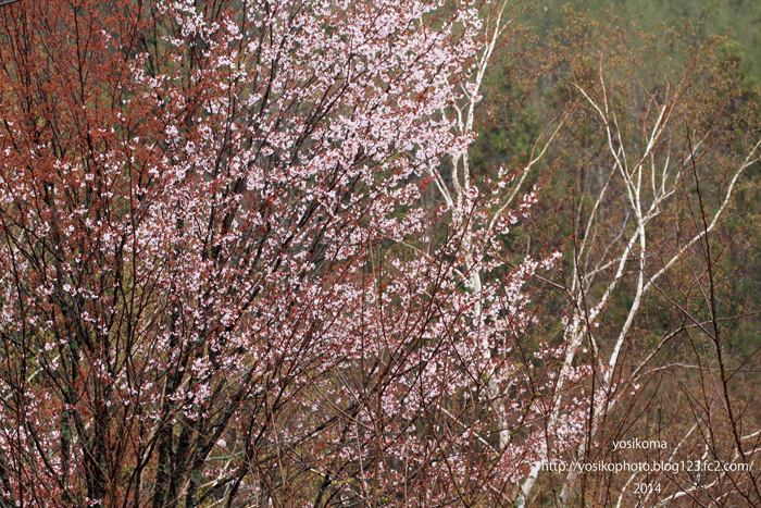 浪合の桜4