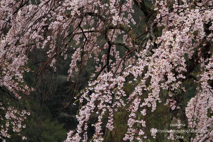 浪合の桜3