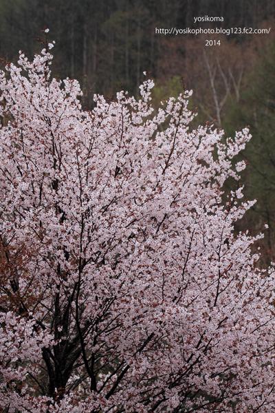 浪合の桜5