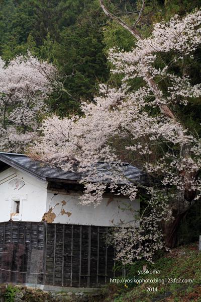 売木村の桜1