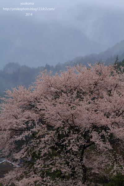 売木村の桜2