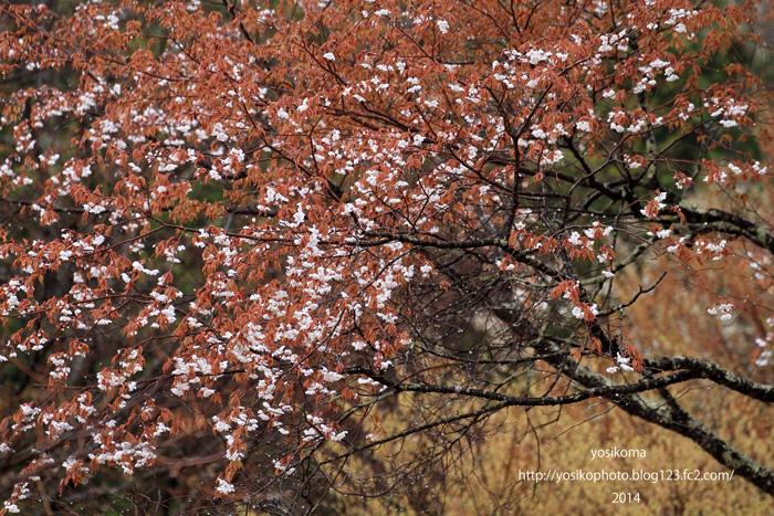 売木村の桜5