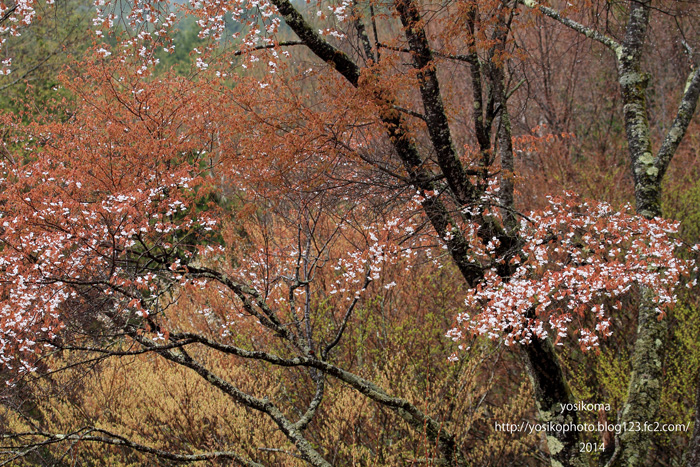 売木村の桜4