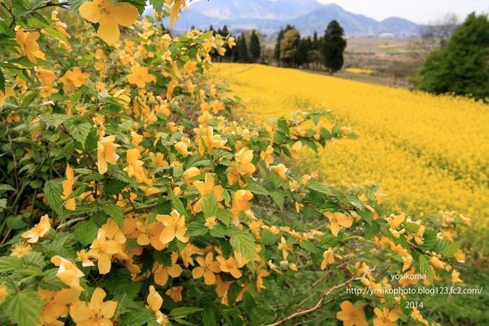菜の花12jpg