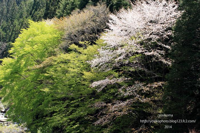 最後の桜1