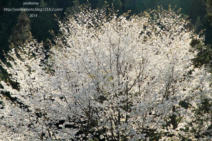 最後の桜3